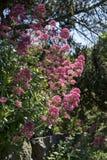 Ruber de Centranthus Photographie stock libre de droits