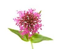Ruber de Centranthus Photo libre de droits
