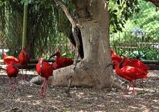 Ruber ibis Eudocimus шарлаха Стоковые Изображения RF