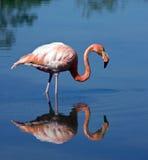 ruber phoenicopterus фламингоа большое Стоковое Изображение