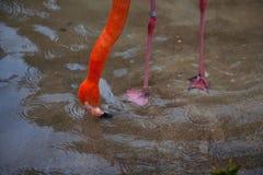 Ruber rouge lumineux de Phoenicopterus de quelques oiseaux de flamant dans l'amour Image stock