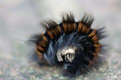 Rubi Macrothylacia Стоковые Изображения RF