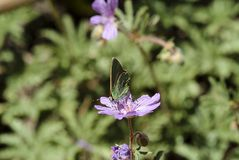 Rubi verde nelle montagne della riserva di biosfera di Shouf, Libano di Callophrys della farfalla di hairstreak immagini stock