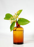 RUBIACEAE FLOWER. Scent of Asian exotic flower Stock Photos