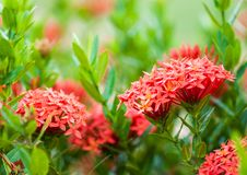 Rubiaceae flower. On blur background Royalty Free Stock Photos