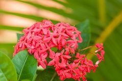 Rubiaceae flower Royalty Free Stock Photos