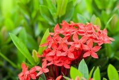 Rubiaceae flower Stock Images