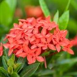 Rubiaceae flower Stock Image