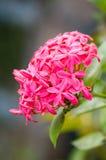 Rubiaceae flower Stock Photo