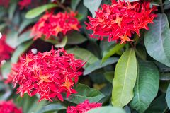 Rubiaceae flower Royalty Free Stock Images