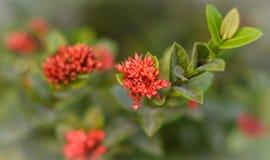 Rubiaceae flower Royalty Free Stock Photo