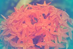 Rubiaceae flower with color filter, soft focus of beautiful flowers with color filters Stock Photos