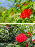 Rubiaceae flower in garden. And blue sky Royalty Free Stock Images