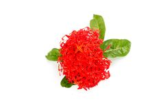 Rubiaceae flower isolated Royalty Free Stock Photo