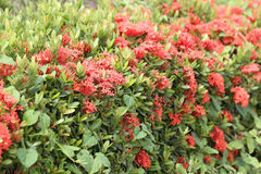Rubiaceae flower of red color bloom. Stock Photography