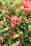 Rubiaceae flower of red color bloom. Stock Images