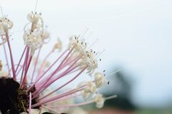 Rubiaceae Flower, white Pink Flower,selective focus at middle Royalty Free Stock Image