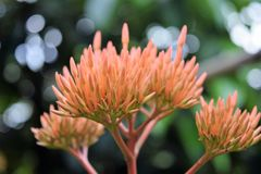 Rubiaceae Flowers. Ixora Red Flowers in the garden Stock Images