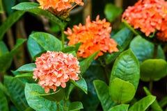 Rubiaceae(Jungle geranium ,Ixora coccinea). Stock Photo
