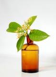 RUBIACEAE kwiat Zdjęcia Stock