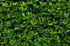 Rubiaceae leaf. (Ixora chinensis Lamk Royalty Free Stock Photography
