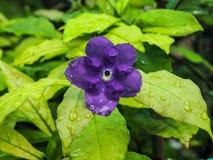 Rubiaceae púrpura y hoja verde Imagenes de archivo
