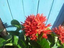 Rubiaceae Royalty Free Stock Photos