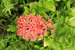 Rubiaceae rode kleur in het park Royalty-vrije Stock Afbeelding