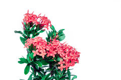 Rubiaceae rosa isolata nel fondo bianco Fotografie Stock Libere da Diritti