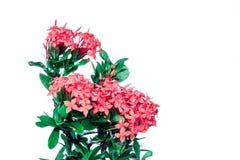 Rubiaceae rose d'isolement à l'arrière-plan blanc Photos libres de droits
