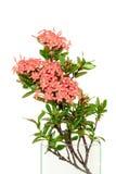 Rubiaceae rose dans le vase en verre employant pour la décoration d'isolement dans le wh Images stock