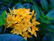 Rubiaceae Stock Images