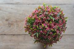 Rubiaceaebloem Royalty-vrije Stock Afbeelding