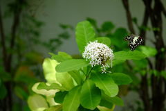 Rubiaceaebloem en Vlinder Stock Foto's