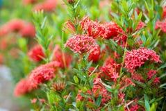 Rubiaceaeblume Stockfotos