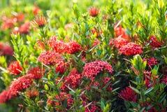 Rubiaceaeblume Lizenzfreie Stockfotografie
