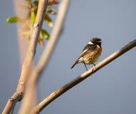 Rubicola ( del Saxicola; Cartaxo-comum) pájaro cantante masculino en la primavera en Braga imagenes de archivo