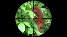 Rubicunda rouge de Presbytis de singe de feuille vu dans la portée de fusil d'arme à feu Chasse de faune Pocher mis en danger, vu clips vidéos