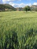 Rubielos de Mora cereal plantation Aragon Royalty Free Stock Image