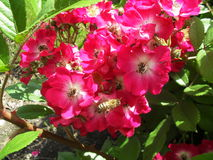 Rubiginosa de Rosa con la abeja del vuelo Fotografía de archivo libre de regalías