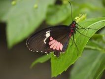Rubin beschmutztes swallowtail Lizenzfreie Stockfotos