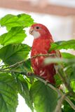 Rubin för Rosella papegojafärg som sitter på en filial av en kinesisk ros fotografering för bildbyråer