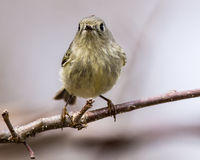 Rubin-gekrönter Kinglet Stockfotos