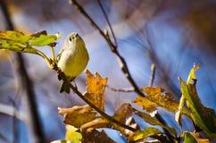 Rubin gekrönter Kinglet gehockt im Baum Lizenzfreies Stockfoto