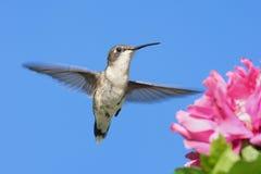 rubin hummingbird rubin Zdjęcie Stock