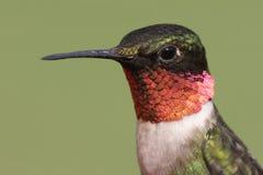 rubin hummingbird rubin Obraz Stock
