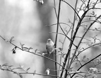 Rubin-krönad Kinglet, liten fågel Royaltyfria Bilder
