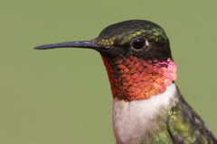 Rubin-throated Kolibri Stockbild