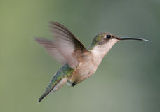 Rubin-throated Kolibri Lizenzfreie Stockbilder