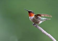 Rubin-throated kolibri Royaltyfria Foton